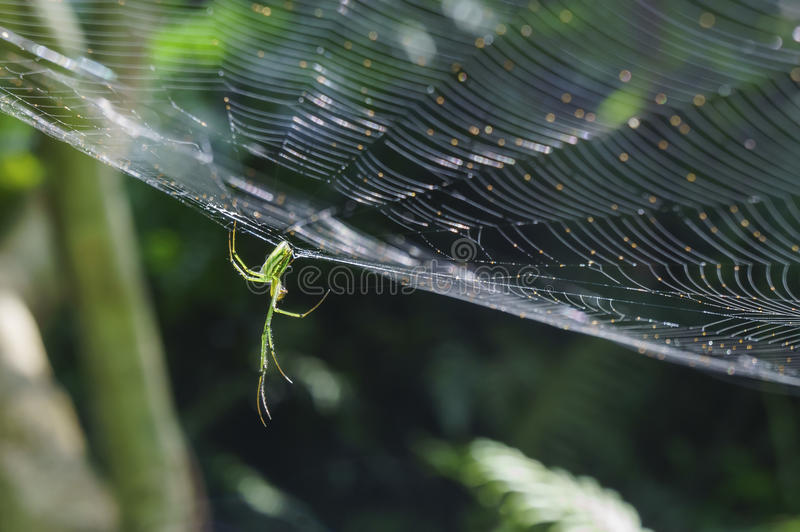 Orchard Orbweaver Spider on the web. Photo taken in Taiwan royalty free stock images