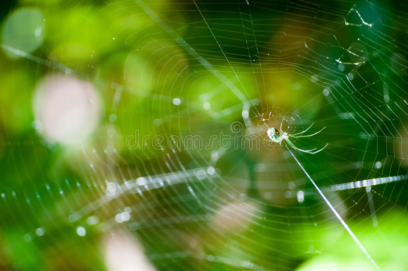 Orchard Orbweaver in sun. On web insect largo spider spiderweb leucauge venusta royalty free stock photos
