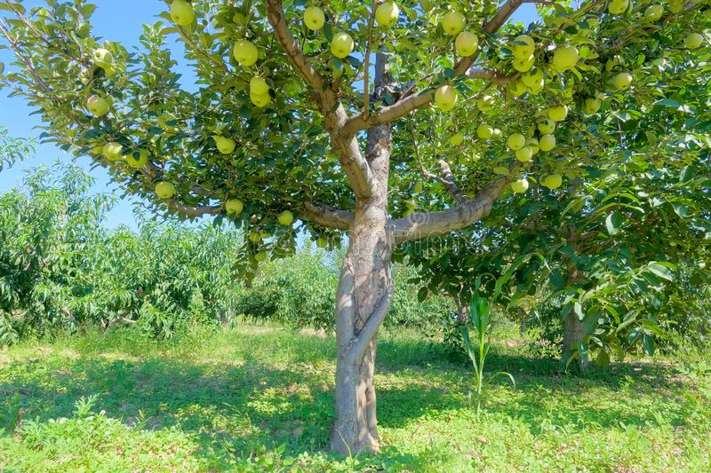 Orchard of pear royalty free stock images