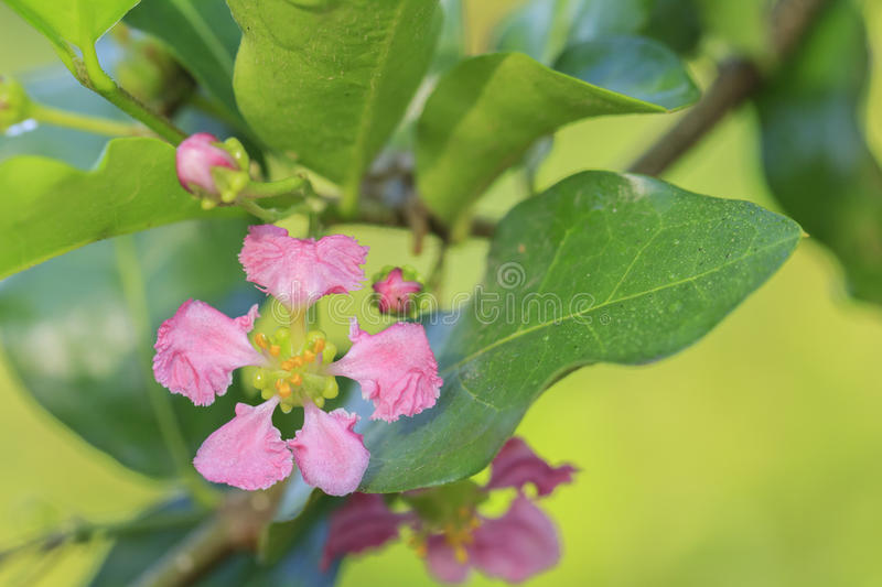Orchard of pink cherry blossoms on tree. Closeup of beautiful orchard of pink cherry blossoms on tree stock photo