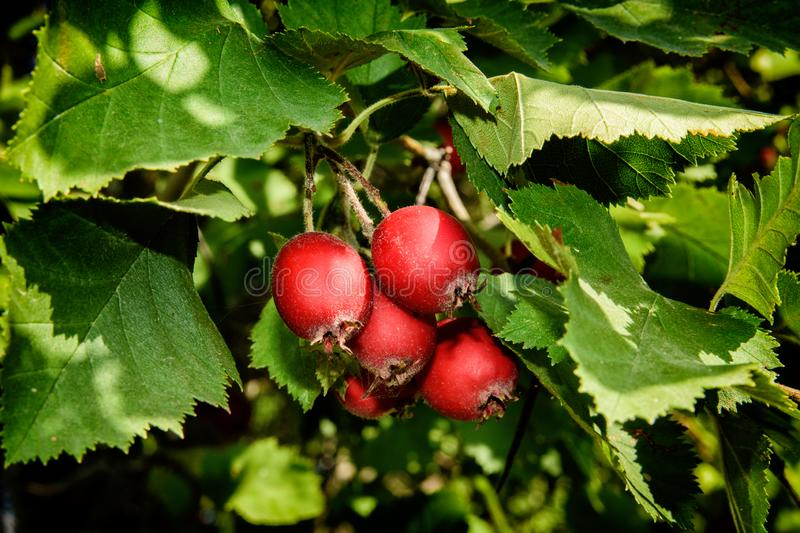 Orchard. Red ripe hawthorn berries on a background of green leaves. stock photo