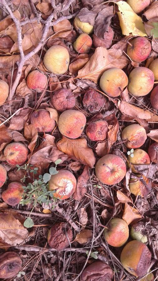 Rotten  apples. Orchard sanitation bad rotten fruit stock photo