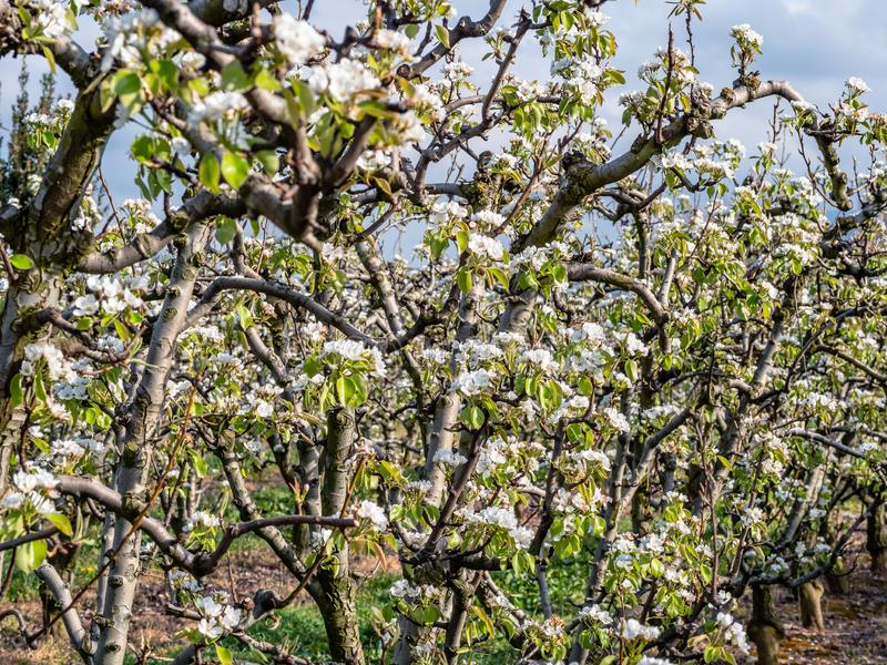 Orchard of pears in bloom with blue sky royalty free stock photo