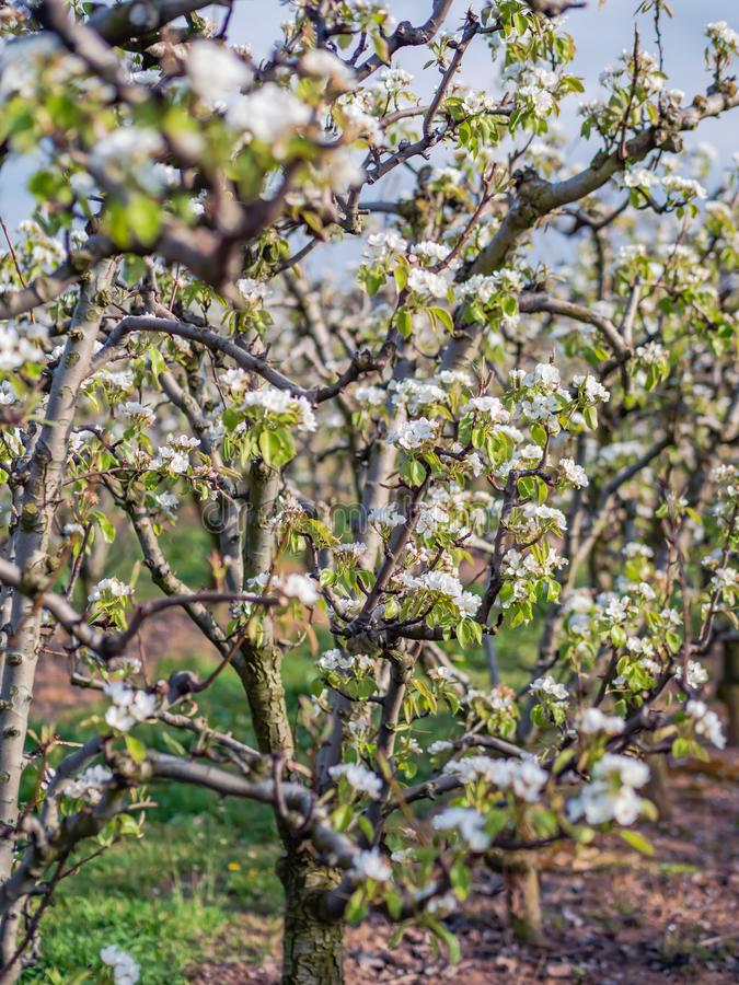 Orchard scene of pears in bloom with blue sky royalty free stock photo