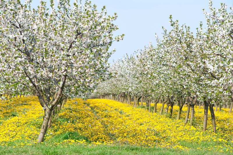 Download Orchard  in spring stock image. Image of branch, april - 19229457