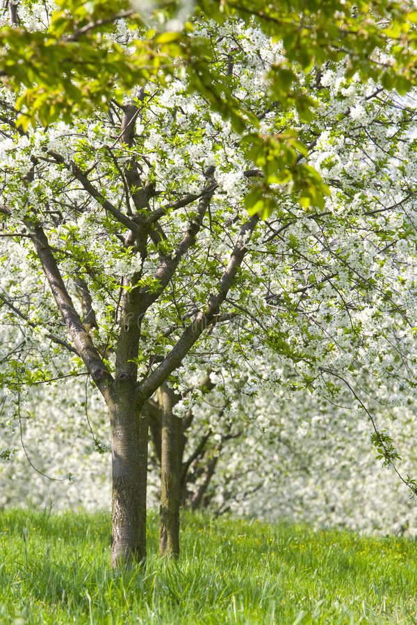 Orchard - spring trees. Spring beautiful fruit trees in orchard stock image