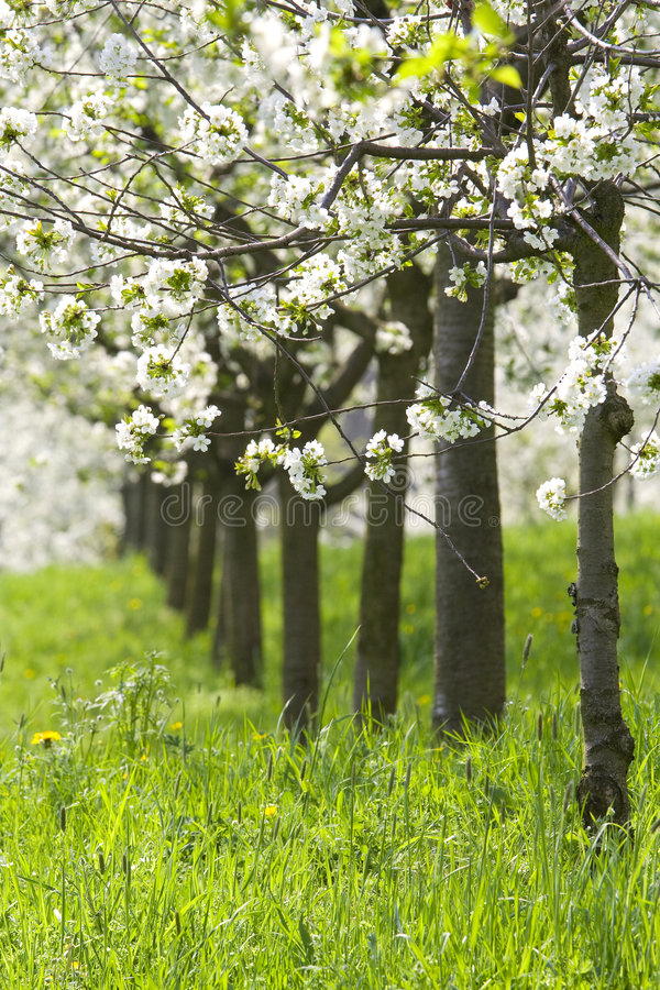 Orchard - spring trees. Spring beautiful fruit trees in orchard royalty free stock photos