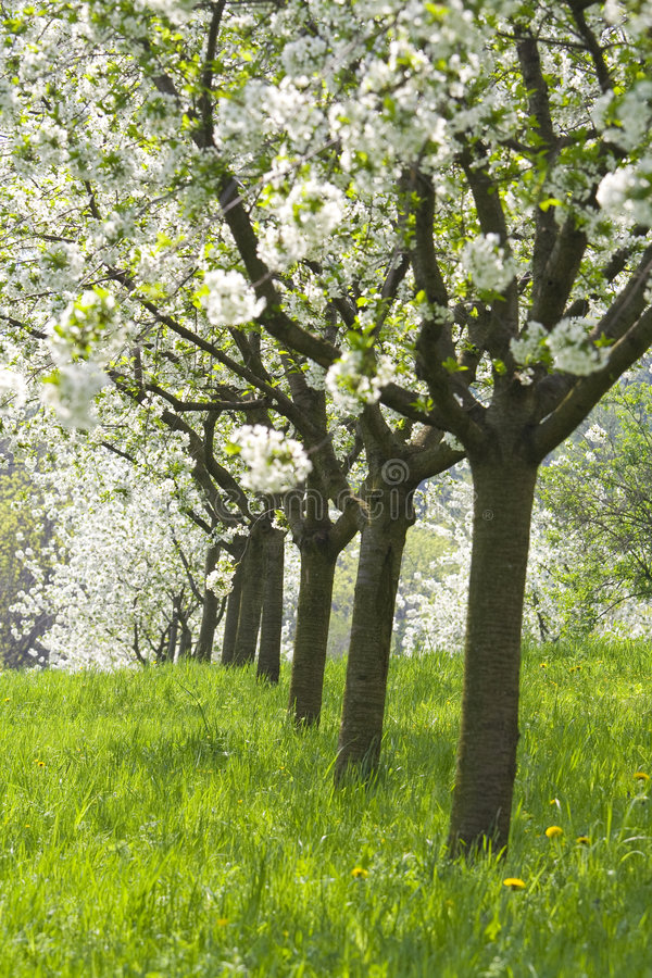Orchard - spring trees. Spring beautiful fruit trees in orchard royalty free stock images