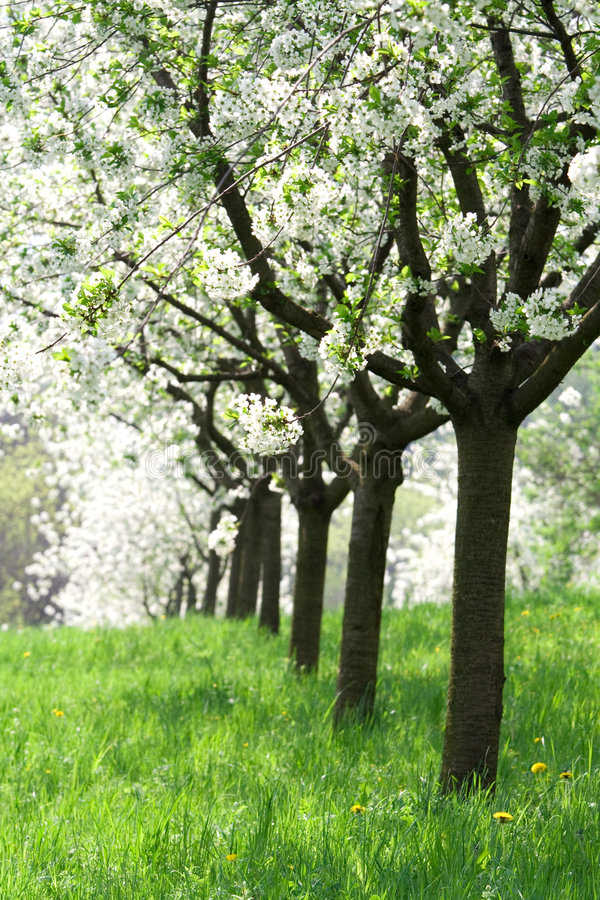 Orchard - spring trees stock photography