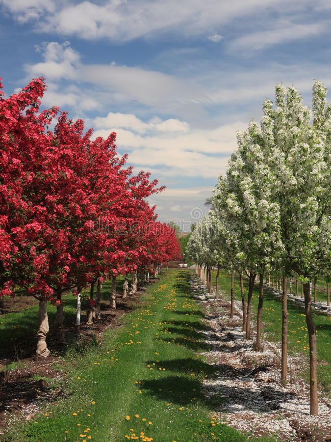 Download Orchard vertical view stock image. Image of grass, bloom - 14108279