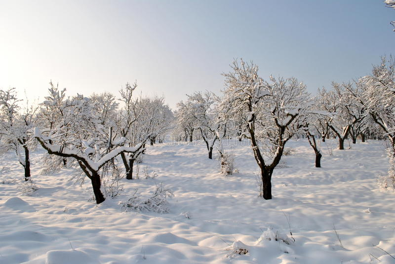 Orchard in winter. Image of a plum orchard in winter with snow royalty free stock photos