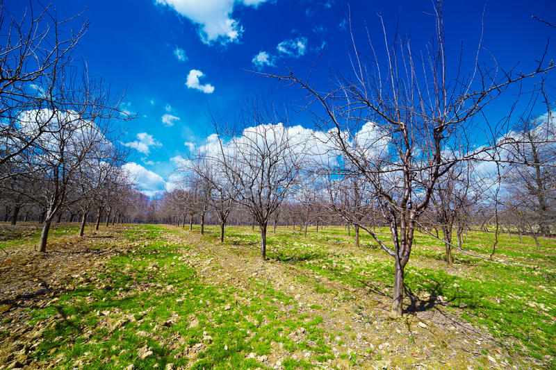 Download Orchard Of Young Apple Trees Stock Photo - Image: 21042688