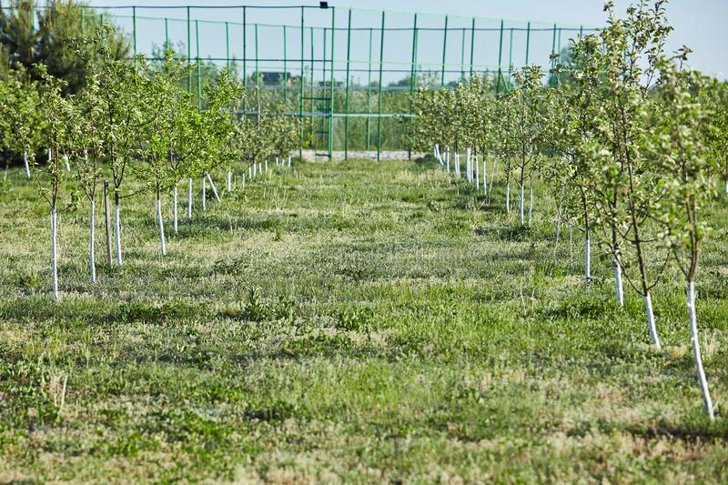 Orchard of young apple trees painted white stock photo