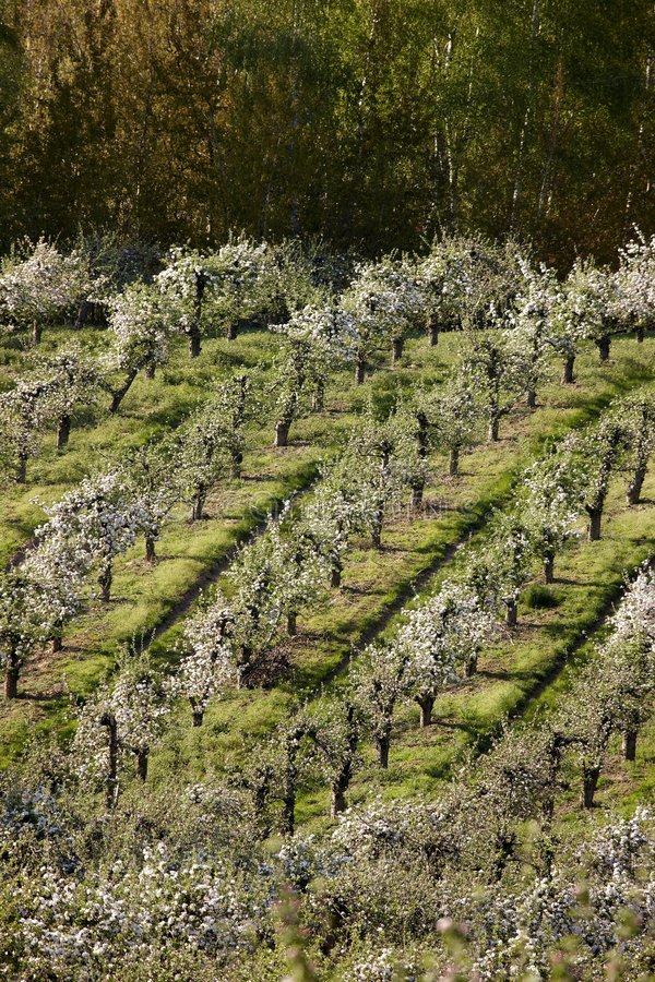 Download Orchards stock photo. Image of pears, orchards, flower - 6394470