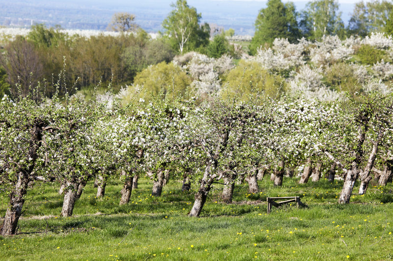 Orchards. Photograph of orchards in spring royalty free stock image