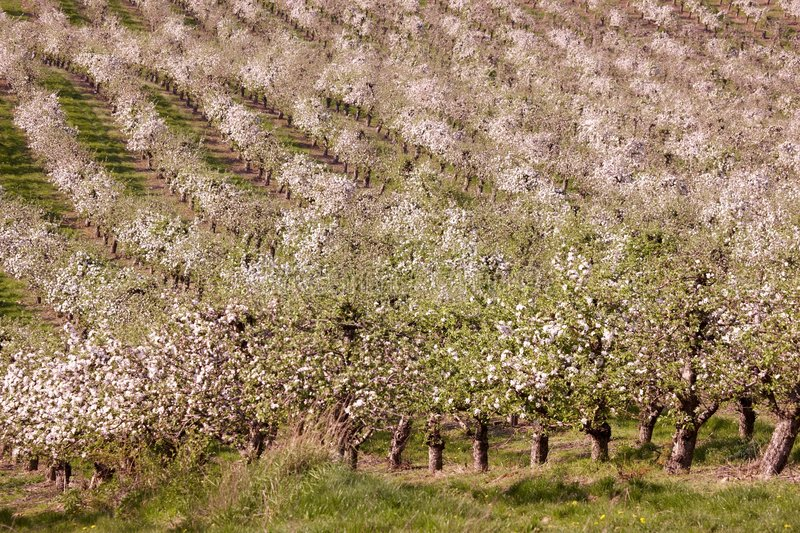Download Orchards stock photo. Image of climate, fruit, cherry - 6394760