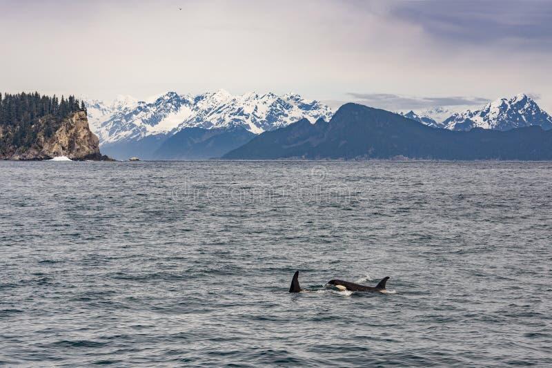 Orche che nuotano nel golfo dell'Alaska immagine stock libera da diritti