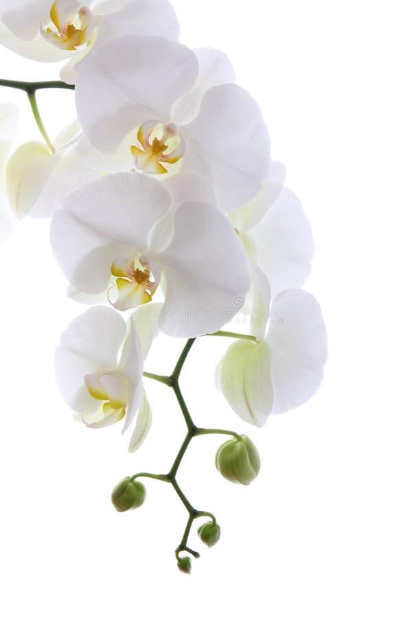 Souvent Orchidée Blanche Photos libres de droits - Image: 27011508 HT01