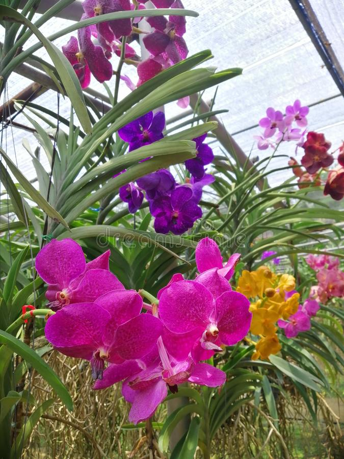 Orchid†‹ royalty-vrije stock foto