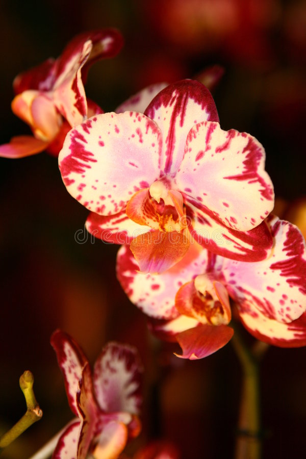 Download Orchidée photo stock. Image du flore, couleur, rose, été - 2128644