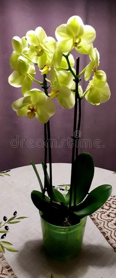 Orchidée image libre de droits