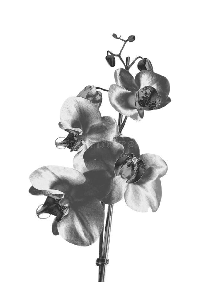 Orchidée argentée photos stock