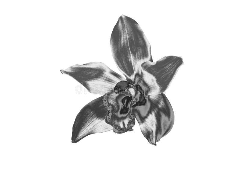 Orchidée argentée photo libre de droits