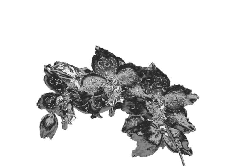 Orchidée argentée photographie stock