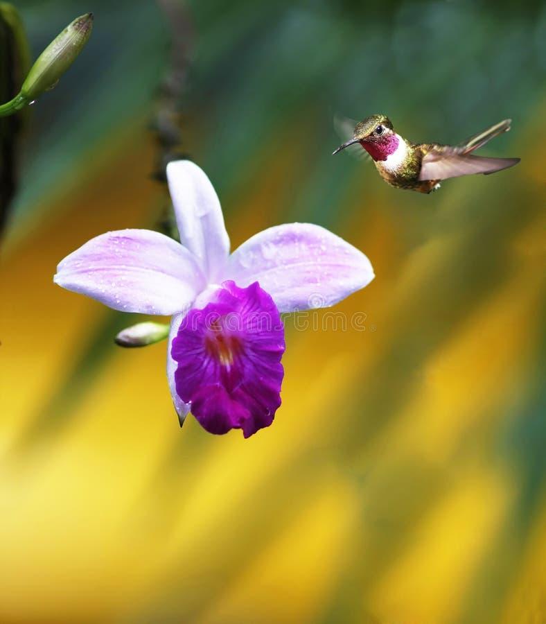 Orchidée avec le colibri photo stock