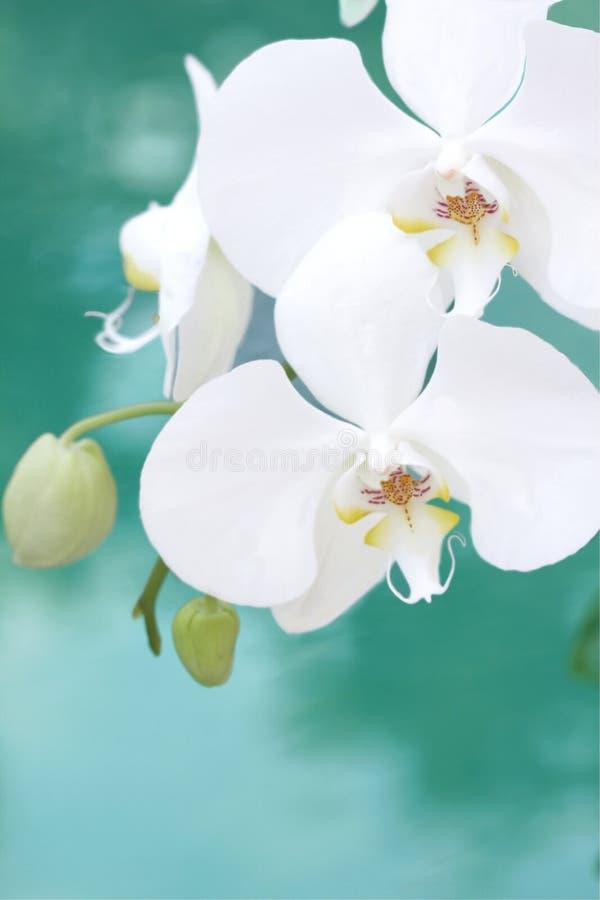 Orchidée blanche d'aquarelle images libres de droits