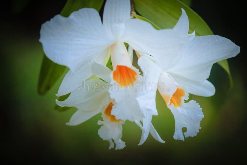 Orchidée blanche dans le grand vintege de forêt photo libre de droits