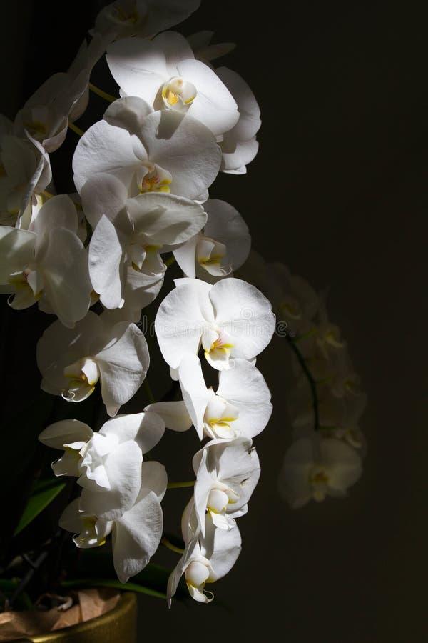 Orchidée blanche dans le pot de fleurs sur des floralies image libre de droits