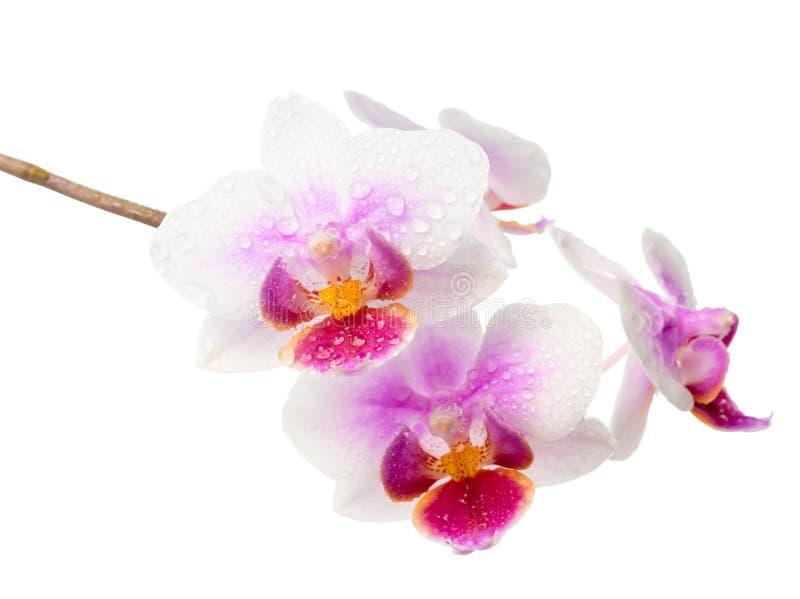 orchidee blanche et rouge
