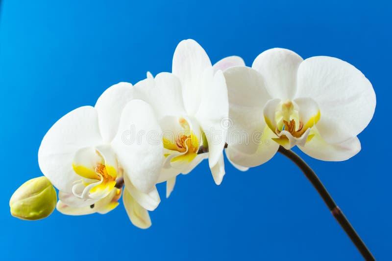 Orchidée blanche sur un fond bleu photo stock