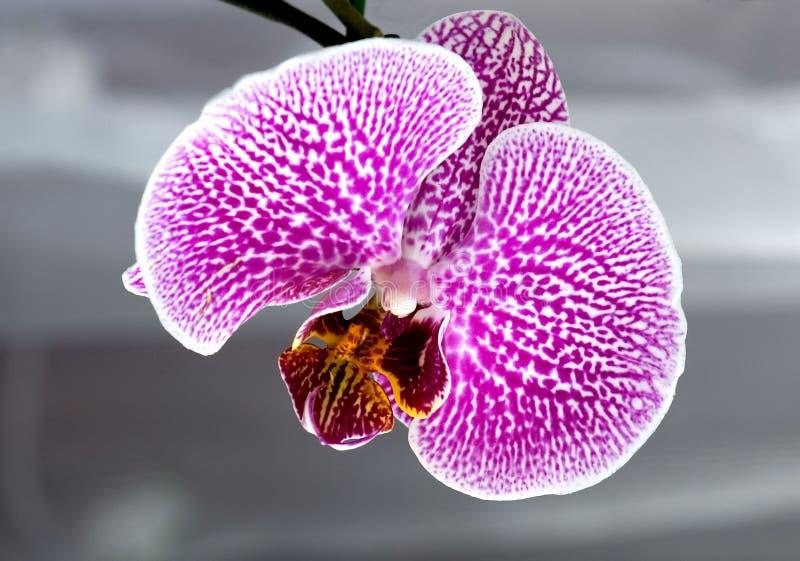 Orchidée, botanique, instruction-macro image stock