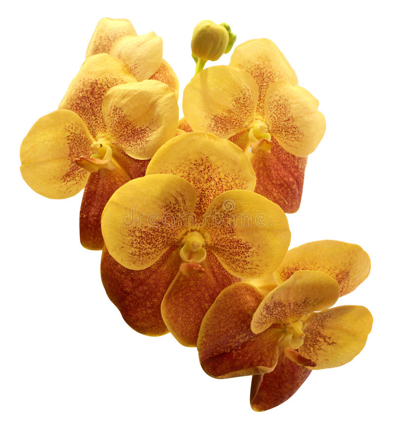 Orchidée colorée d'isolement sur le fond blanc images libres de droits
