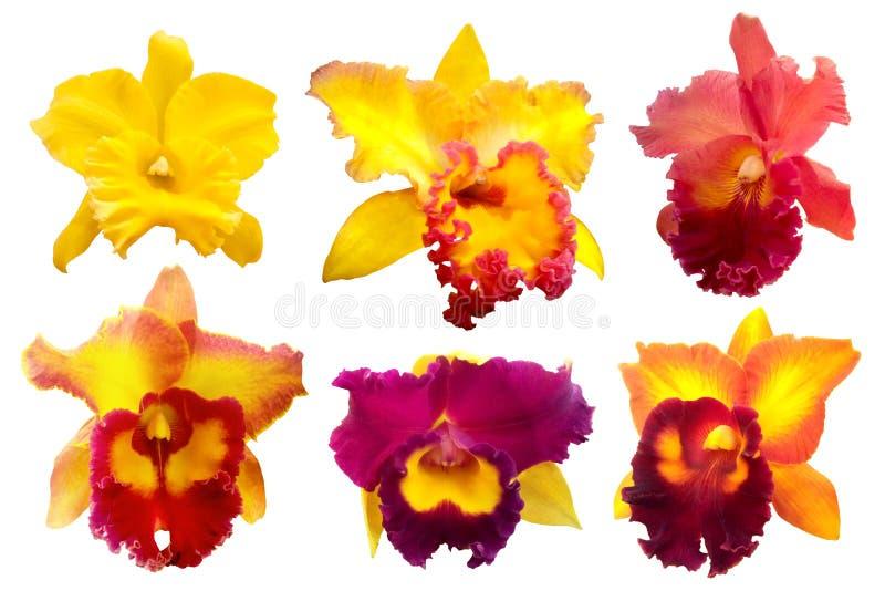 Orchidée colorée d'isolement sur le fond blanc illustration libre de droits