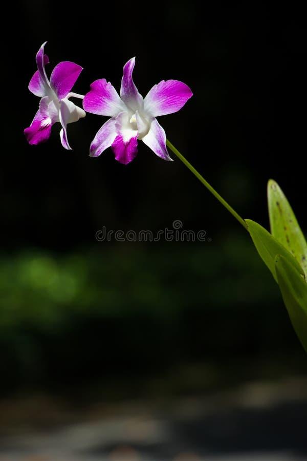Orchidée cultivée par rose images libres de droits