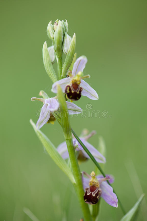 Orchidée d'abeille images libres de droits