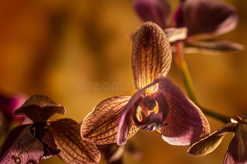 Orchidée d'effacement images libres de droits