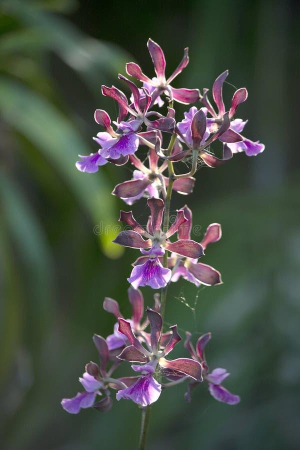 Orchidée d'Encyclia avec la lavande, mauve, et fleurs pourpres qui sont parfumées photo libre de droits