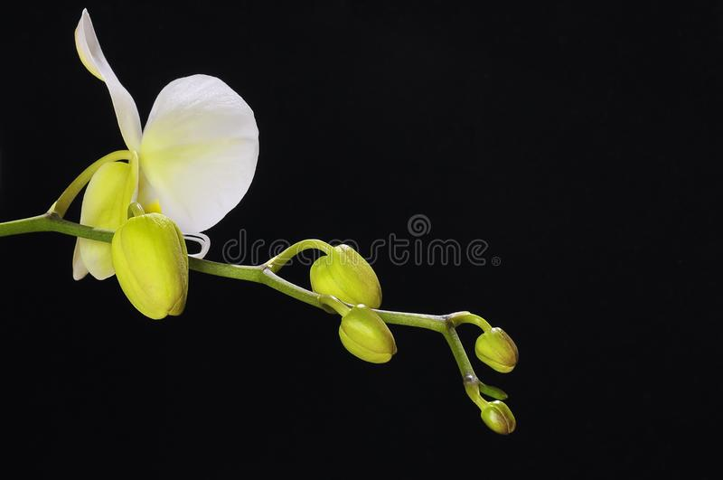 Orchidée d'isolement. photographie stock