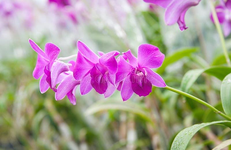 Orchidée dans le jardin image libre de droits