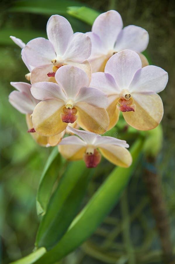 Orchidée dans le jardin photographie stock