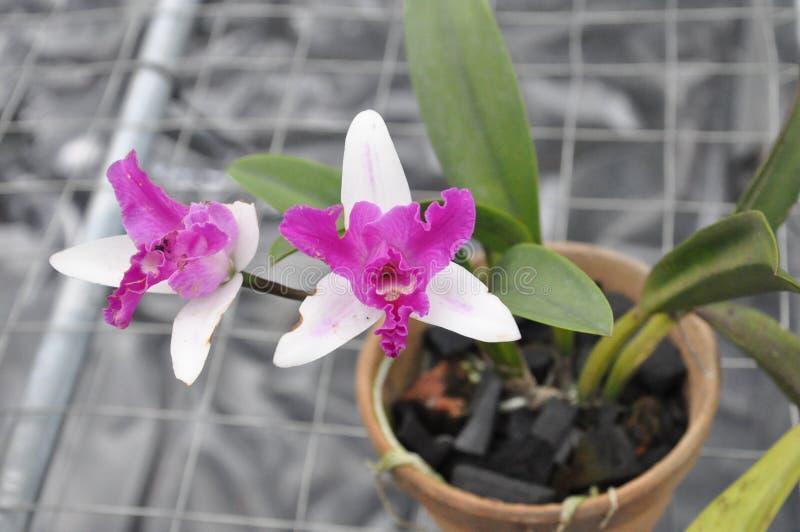 Orchidée de flore images stock