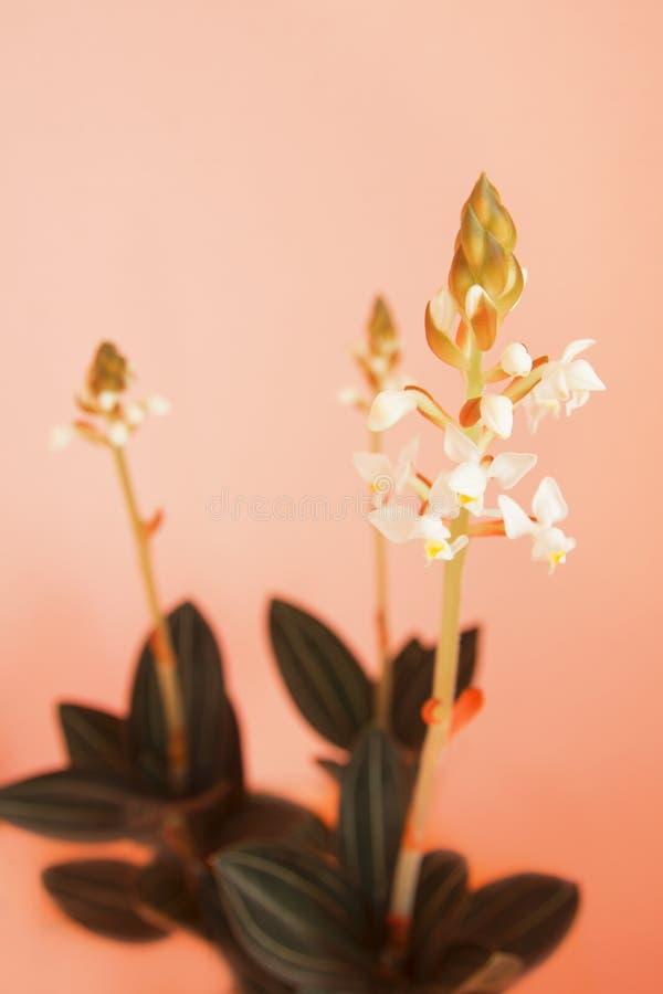 Orchidée de Ludisia image libre de droits