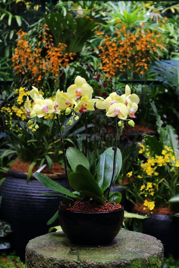 Orchidée de mite jaune photos stock