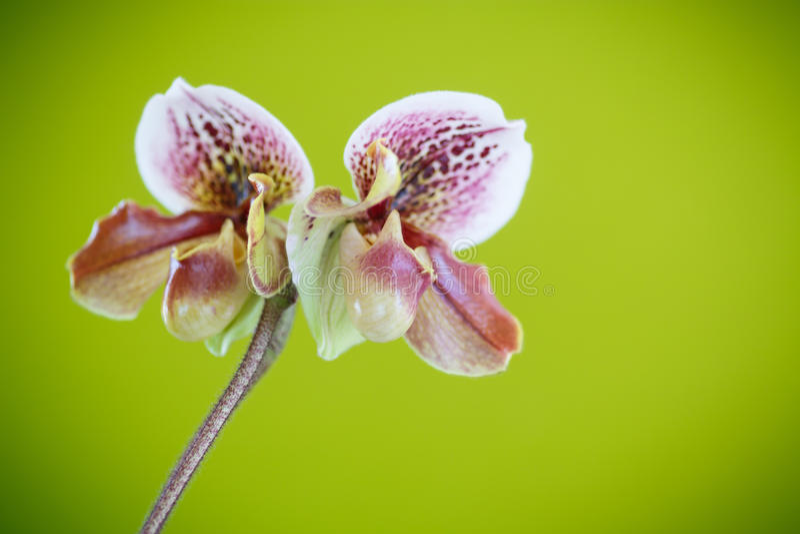 Orchidée de pantoufle de Madame photographie stock