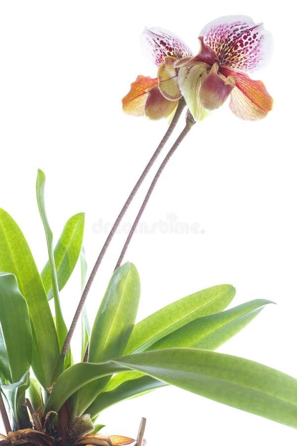 Orchidée de pantoufle de Madame image libre de droits