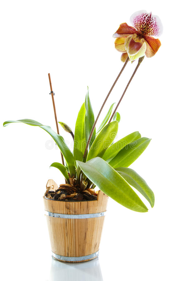 Orchidée de pantoufle de Madame images stock